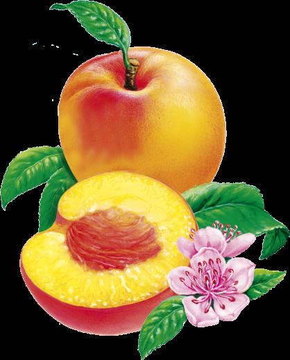 Peaches Nordic illus
