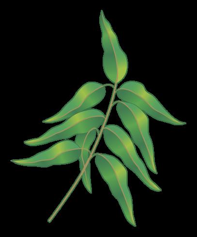 Eucalyptus kvist illu 1500px